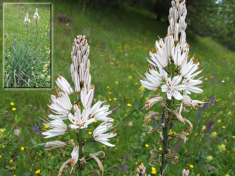 Asphodelus albus - Fleur blanche longue tige ...