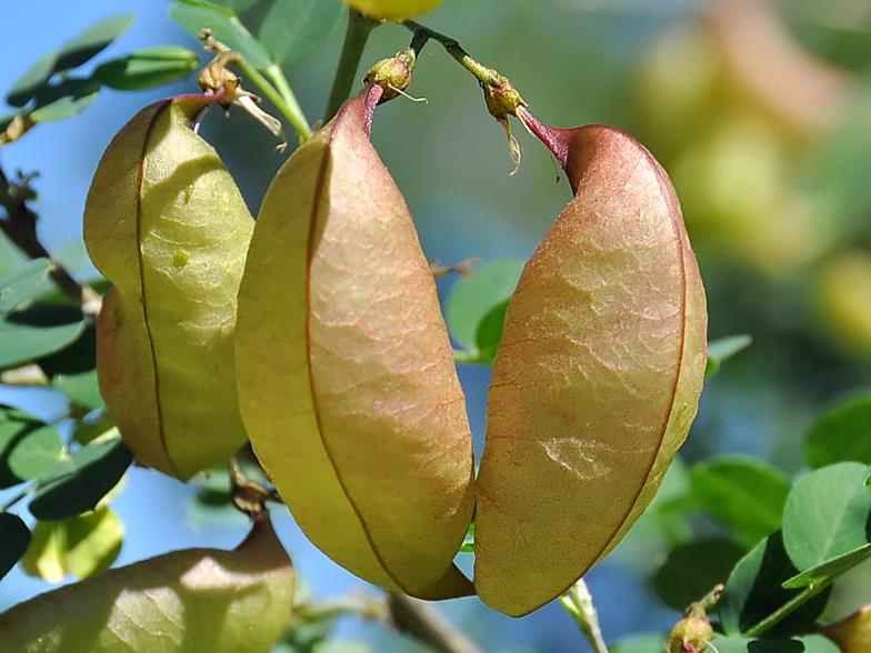 Colutea arborescens for Portent ses fruits