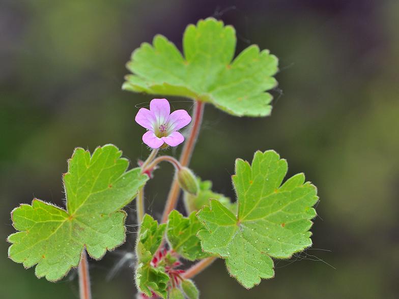 Geranium rotundifolium - Geranium feuilles qui jaunissent ...