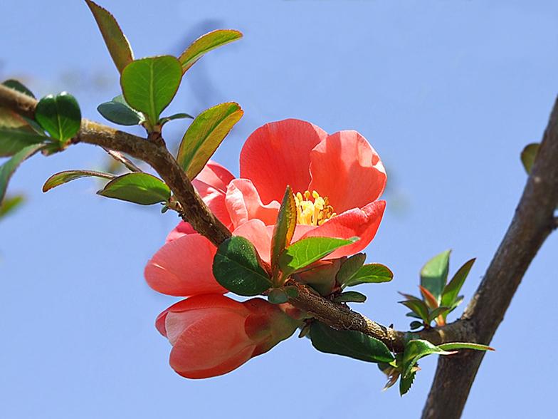 Malus x floribunda - Pommier du japon toxique ...