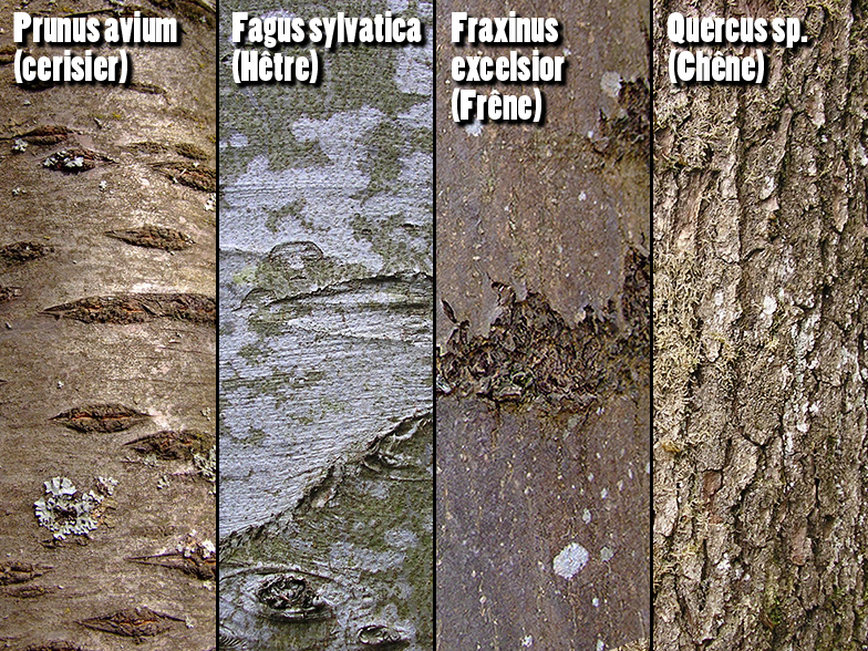 Feuillus region - Reconnaitre les arbres par leur tronc ...